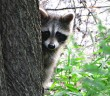 raccoon removal ottawa